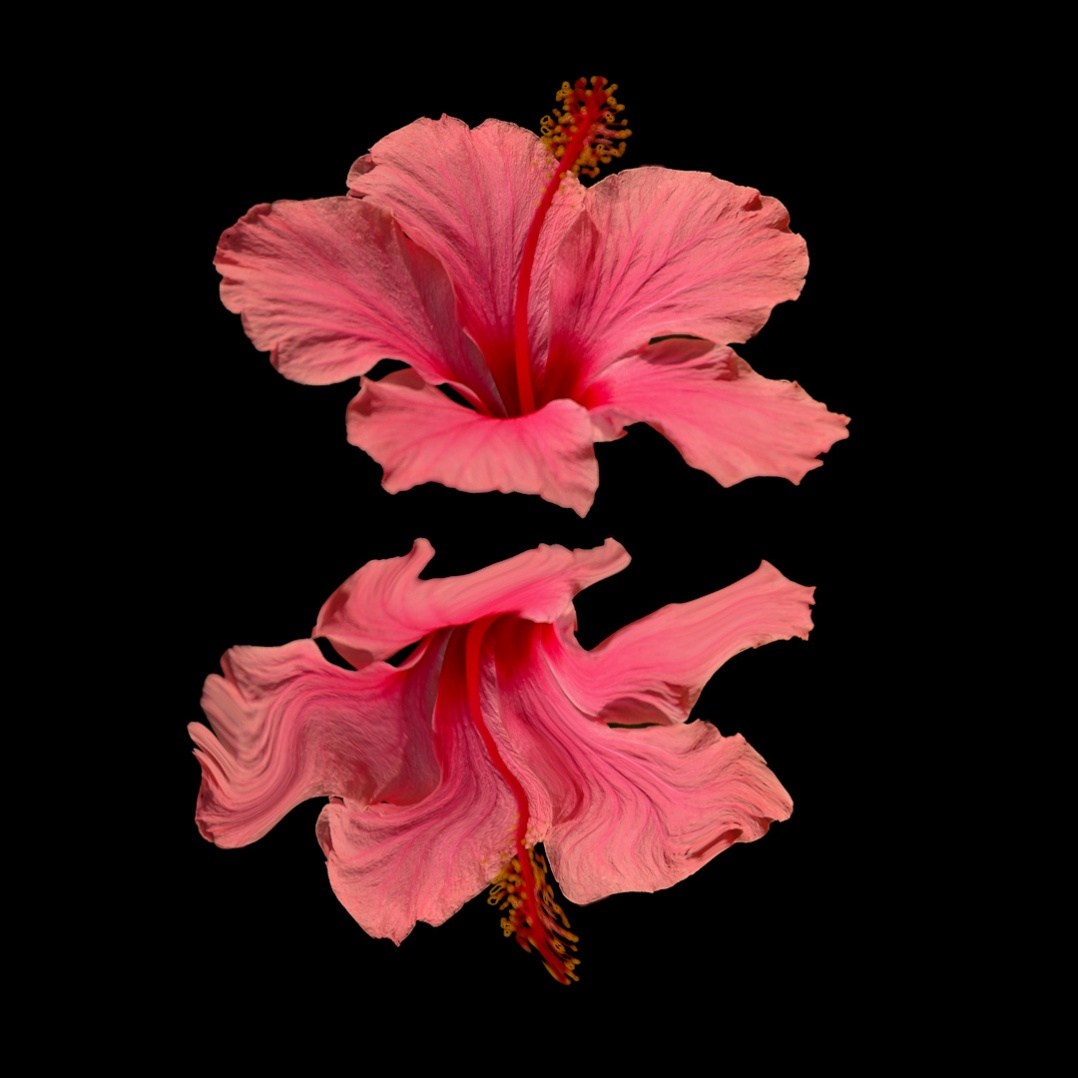 Hibiscus Reflection