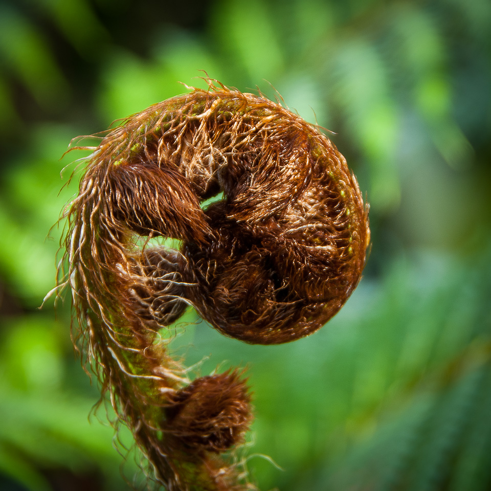 Tree Fern Fiddlehead