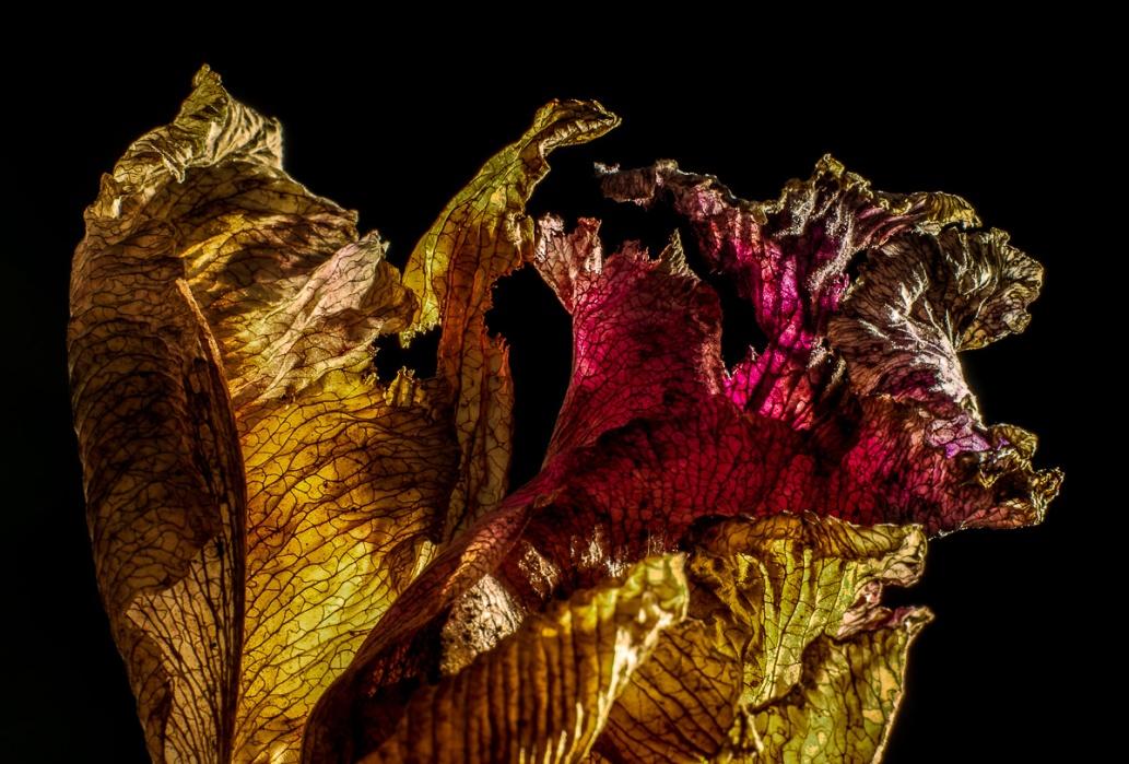 Cattelya Orchid Bloom