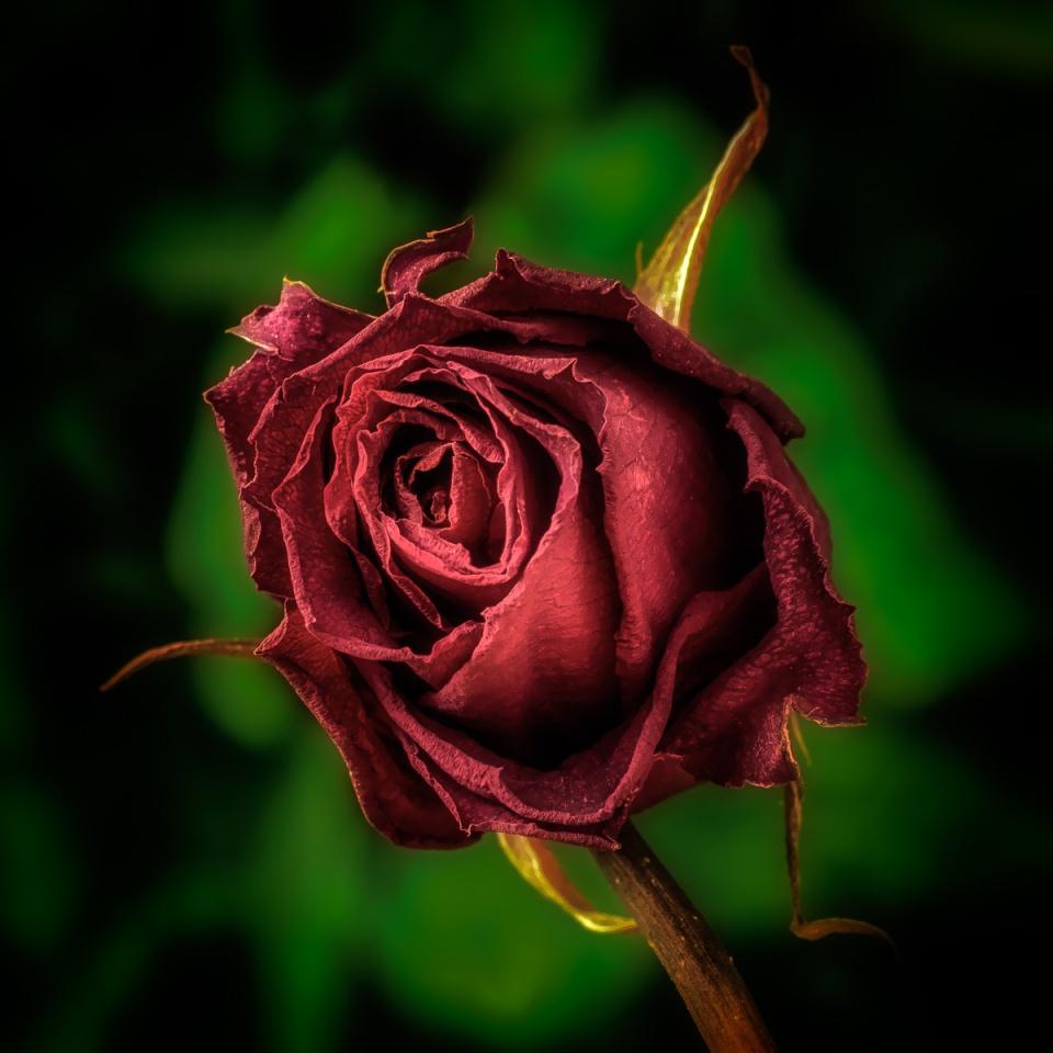 Still Life - Roses