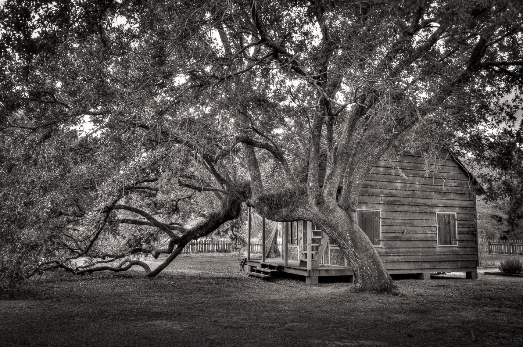 Lousiania live oak and cabin