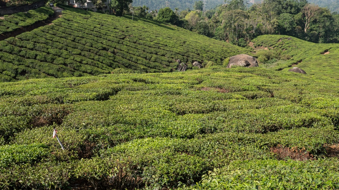 Tea Gardens of Munnar photo