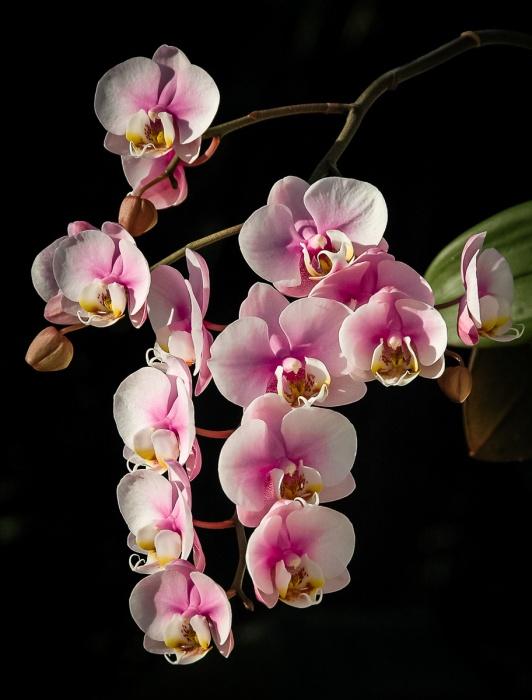 Phalaenopsis Bloom photo