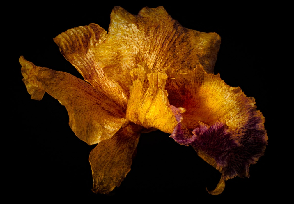 Beauty in Decay Cattelya Orchid-2